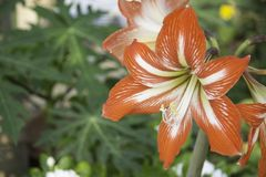 Amaryllis are the easiest to bring to bloom. Of all flowering bulbs, amaryllis are the easiest to bring to bloom. This can be accomplished indoors or out, and Stock Photography