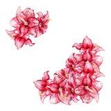 Amaryllis fleurit la carte Photos libres de droits