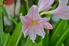 Amaryllis Flower Stockfoto