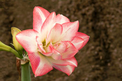 Amaryllis flower. The close-up of amaryllis flower royalty free stock photography