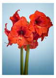 Amaryllis Flower Images stock