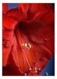 Amaryllis Flower Royalty-vrije Stock Afbeelding