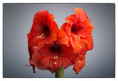 Amaryllis Flower Royalty-vrije Stock Fotografie