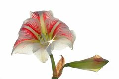 Amaryllis flower Stock Images