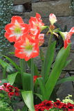 Amaryllis Flower Stockfotos