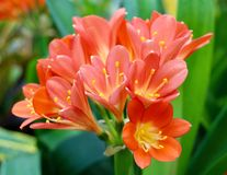 Amaryllis flower Stock Photography