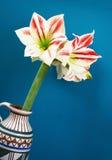 Amaryllis flower on blue background Stock Images