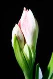 Amaryllis flower on blue gradient background. Stock Photography