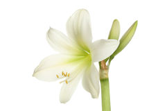 Amaryllis. Flower and buds isolated against white royalty free stock images