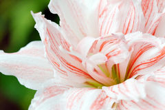 Amaryllis Flower Royalty Free Stock Photo