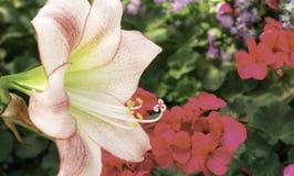 Amaryllis flower Stock Image