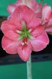 Amaryllis flower Royalty Free Stock Image