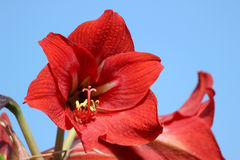 Amaryllis Flower Closeup Stock Image