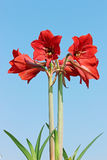 Amaryllis Flower. Closeup of Amaryllis Flower in a sunny day royalty free stock photos