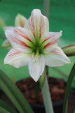Amaryllis flower Stock Photo