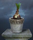 Amaryllis flower. Growing in ceramic pot Stock Images
