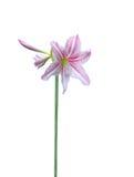 Amaryllis flower Royalty Free Stock Photo