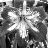 Amaryllis flower, monochrome Royalty Free Stock Photo