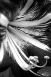 Amaryllis flower, monochrome Royalty Free Stock Photos