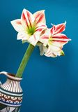 Amaryllis Flower op blauwe achtergrond Stock Afbeeldingen