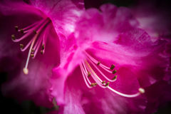 Amaryllis flower pink Stock Photo