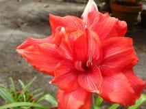 Amaryllis Flower rossa in fioritura Fotografie Stock Libere da Diritti