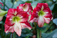 Amaryllis flower in the tropical jungles. royalty free stock images