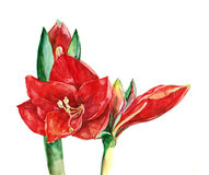 Amaryllis flower watercolor Stock Image