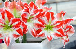Amaryllis flowers bouquet Stock Image