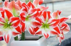Amaryllis flowers bouquet Stock Image