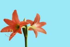 Amaryllis flowers Stock Photo