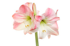 Amaryllis. Flowers isolated against white stock photos