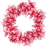 Amaryllis flowers wreath. Wreath with watercolor image of red flowers of amaryllis on white background Stock Photos