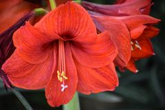 Amaryllis Flower Blooming, Flowering Bulb. Amaryllis is the only genus in the subtribe Amaryllidinae. It is a small genus of flowering bulbs, with two species royalty free stock images