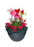 Amaryllis-het boeket van bloemkerstmis stock foto's