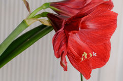Amaryllis Hippeastrum Royalty-vrije Stock Afbeelding