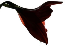 Amaryllis Hippeastrum Stock Afbeelding