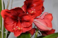 Amaryllis Hippeastrum Royalty-vrije Stock Fotografie