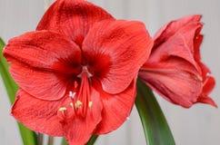 Amaryllis Hippeastrum. Beautiful blooming flower - Amaryllis Hippeastrum royalty free stock photo