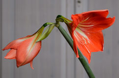 Amaryllis Hippeastrum. Beautiful blooming flower - Amaryllis Hippeastrum royalty free stock image