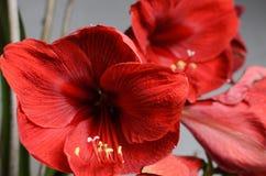 Amaryllis Hippeastrum. Beautiful blooming flower - Amaryllis Hippeastrum stock image