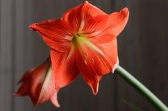 Amaryllis Hippeastrum. Beautiful blooming flower - Amaryllis Hippeastrum royalty free stock photos