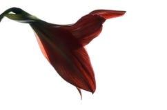 Amaryllis Hippeastrum. Beautiful blooming flower - Amaryllis Hippeastrum stock photos
