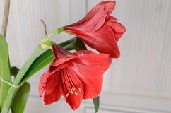 Amaryllis Hippeastrum. Beautiful blooming flower - Amaryllis Hippeastrum royalty free stock photography