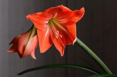 Amaryllis Hippeastrum. Beautiful blooming flower - Amaryllis Hippeastrum stock photo