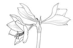 Amaryllis-hippeastrum bloeit lilly zijaanzichtmacro royalty-vrije illustratie