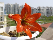 Amaryllis Hippeastrum-bloem in stad stock foto's