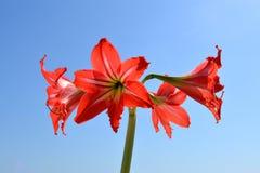 Amaryllis Hippeastrum Flores rojas hermosas contra el cielo azul Fotos de archivo
