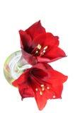 Amaryllis Hippeastrum Flower Royalty Free Stock Photos
