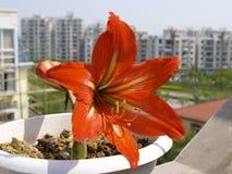 Amaryllis Hippeastrum flower in city stock photos